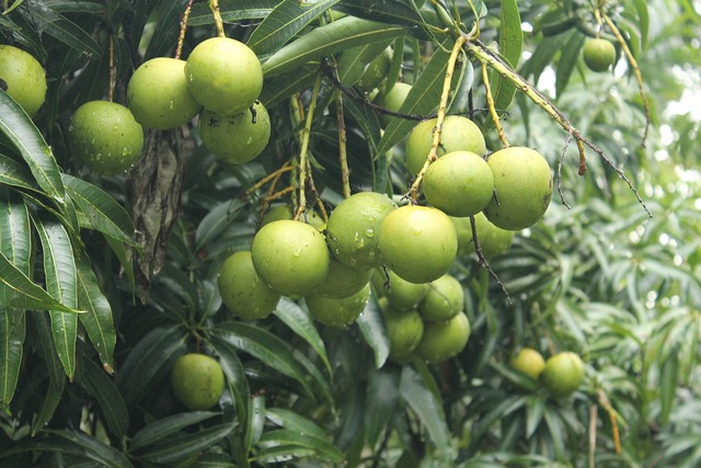 Mangoes trees greenery.