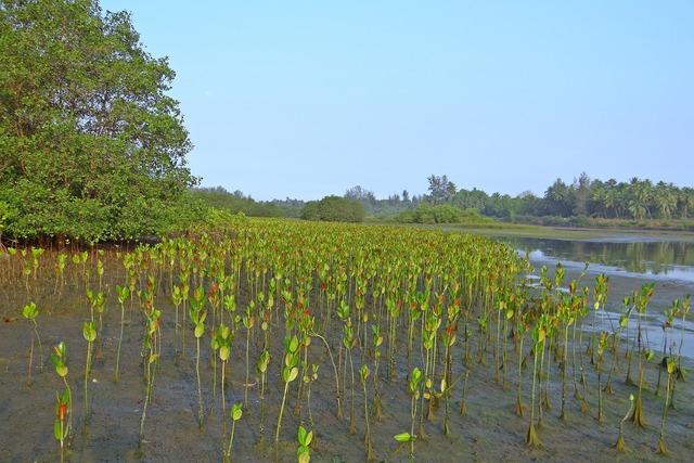 Mangrove seedlings plantation.