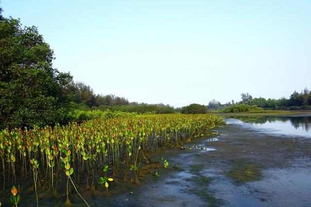 Mangrove species seedlings plantation.
