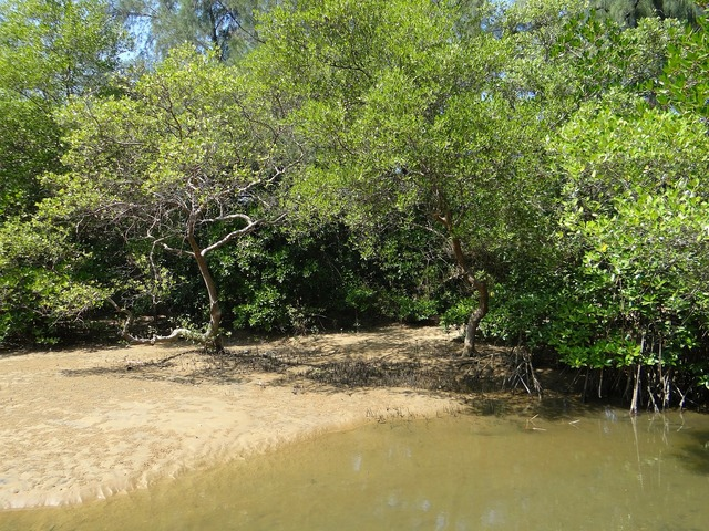 Mangrove species tidal forest.