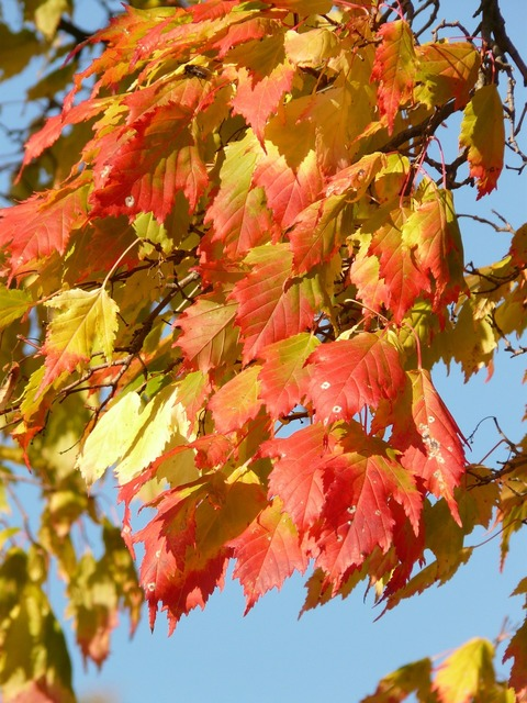 Maple acer platanoides needle leaf maple, nature landscapes.