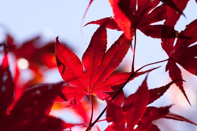 Maple autumn leaf, nature landscapes.