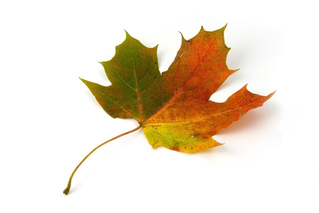 Maple leaf color, backgrounds textures.