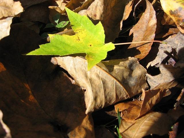 Maple leaf plant, nature landscapes.