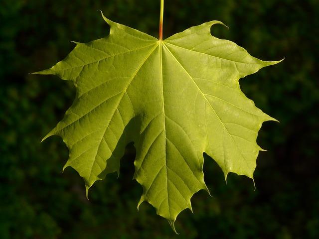 Maple maple leaf leaf.