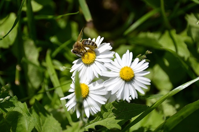 Marguerite bee white flowers, nature landscapes.