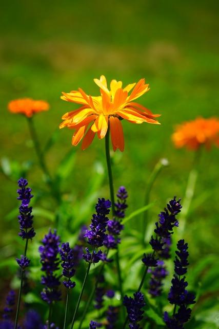 Marigold flowers orange, nature landscapes.