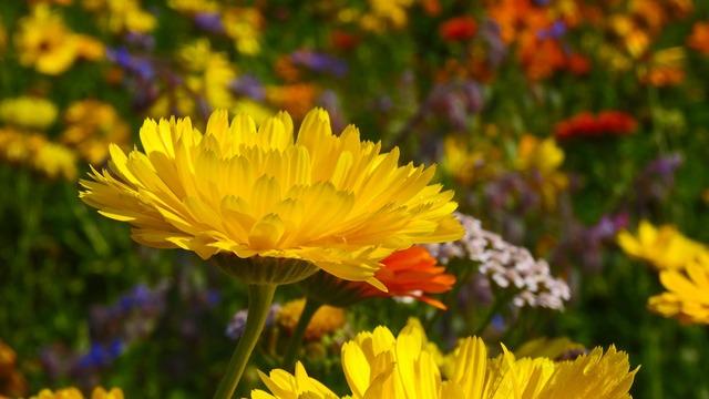 Marigold yellow blossom.