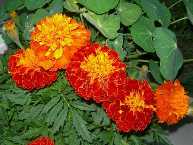 Marigolds orange red flowers nasturtium leaves, nature landscapes.
