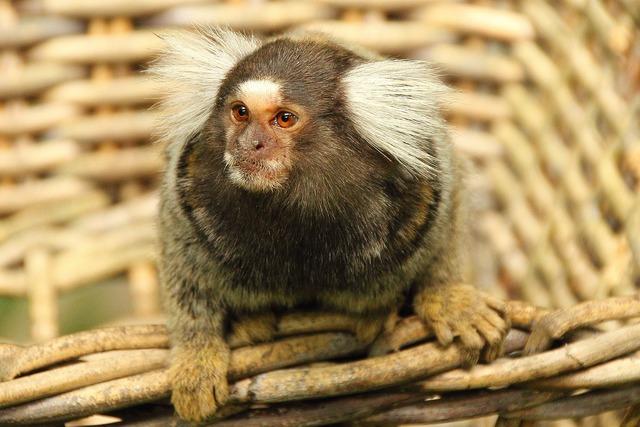 Marmoset monkey animal, animals.