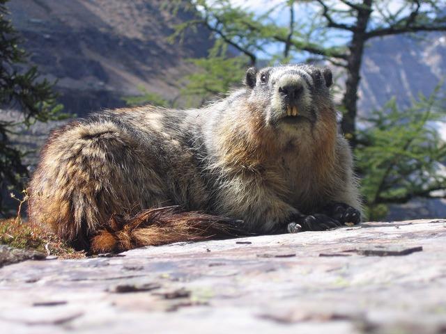 Marmot groundhog rodent, animals.