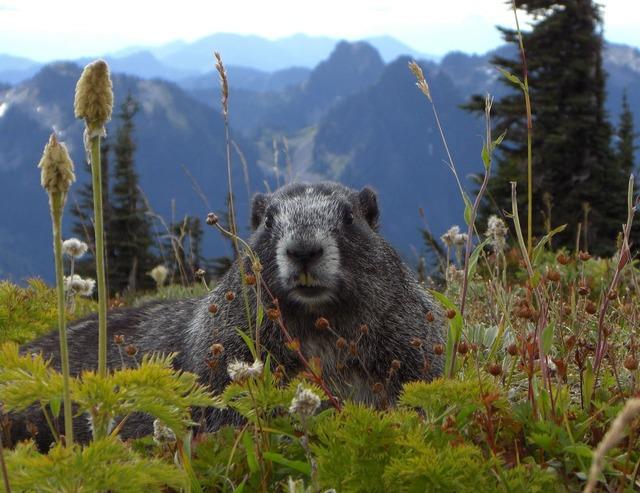Marmot mammal animal, animals.