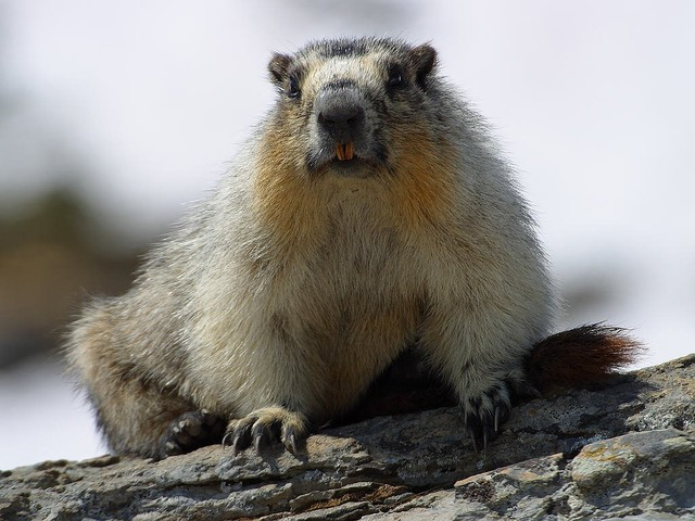 Marmot nager rodent, animals.