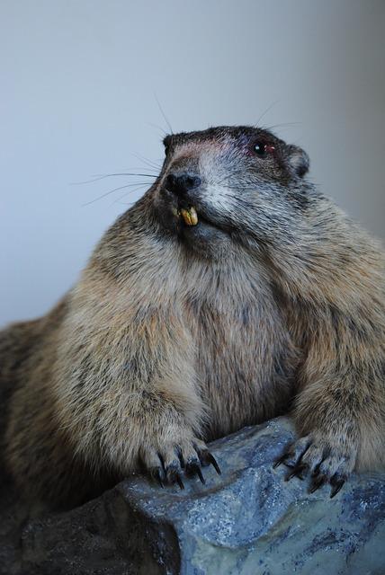 Marmot stuffed old.