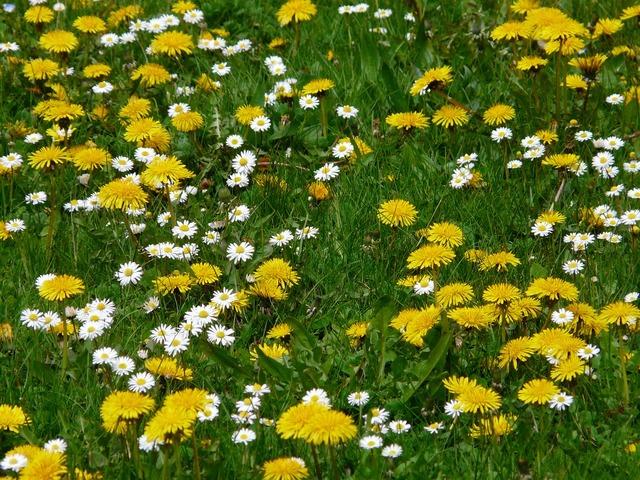 Meadow flowers dandelion, nature landscapes.
