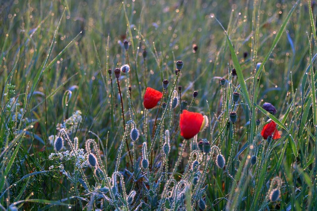 Meadow poppies dawn, nature landscapes.