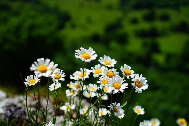 Meadows margerite daisies flowers, nature landscapes.