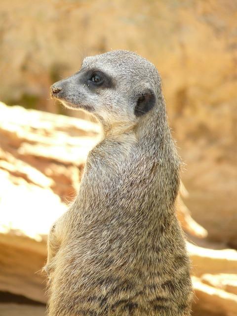 Meerkat animal mammal, animals.