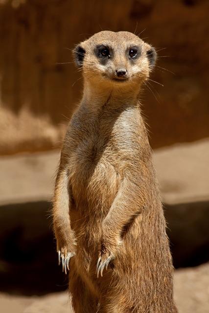 Meerkat savannah africa, nature landscapes.