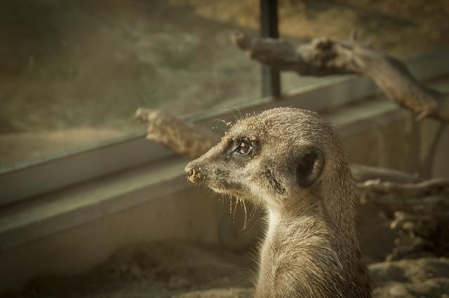 Meerkat stone wild animal, nature landscapes.