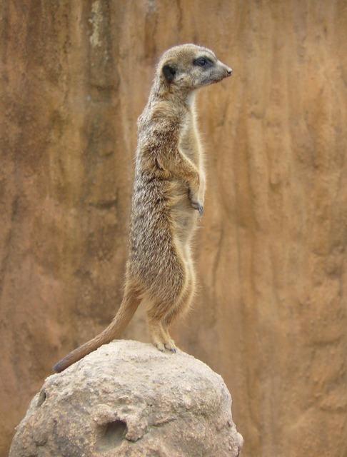 Meerkat suricate animal, animals.