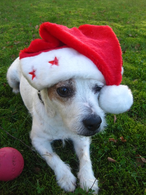 Merry christmas jack russel terrier christmas dog, animals.