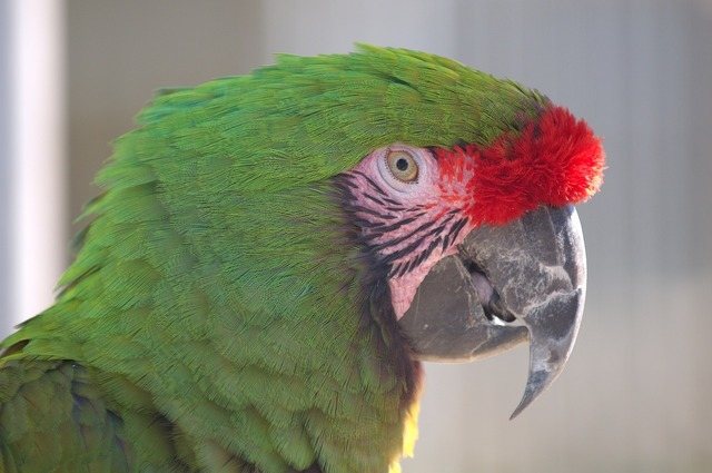 Military macaw head face.