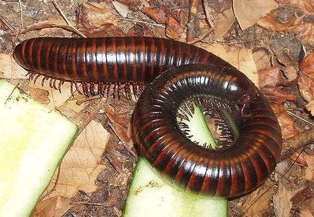 Millipedes myriapoda centipedes.