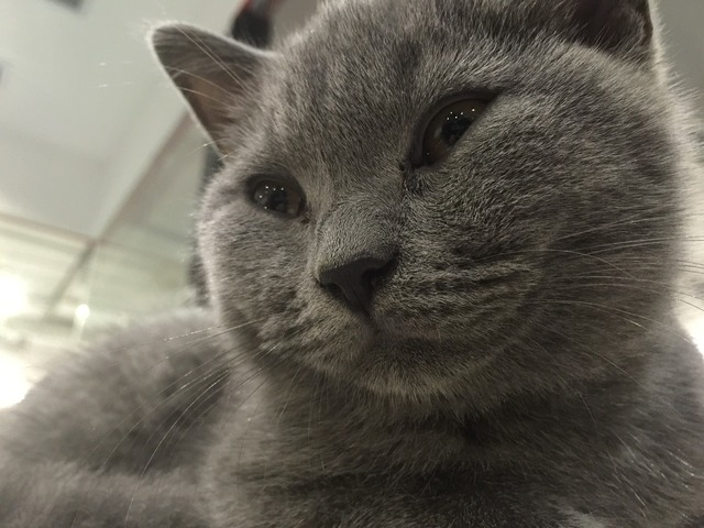Mimi kitten british short, animals.