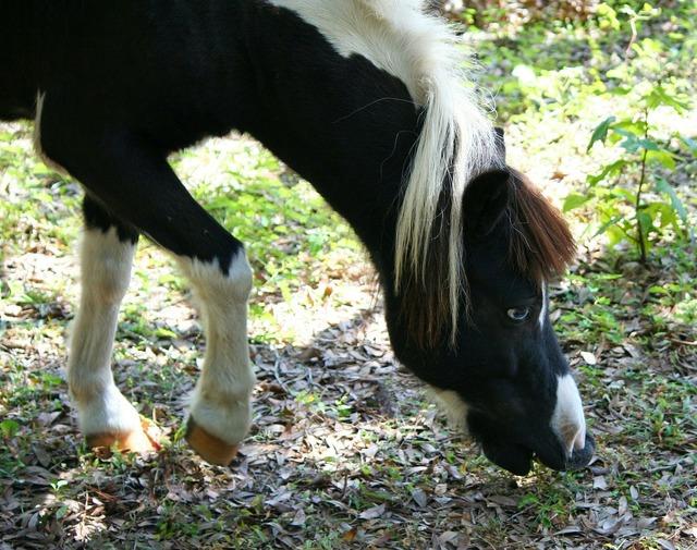 Minature horse pony graze, animals.