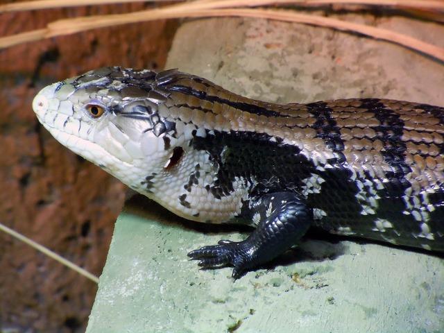 Monitor varanus reptile.