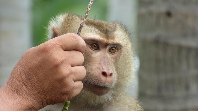 Monkey äffchen animal, animals.