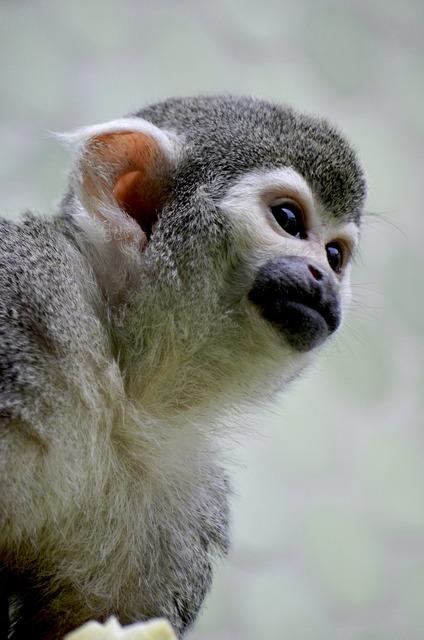 Monkey äffchen capuchin, animals.