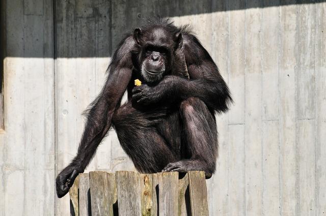 Monkey äffchen chimpanze, animals.