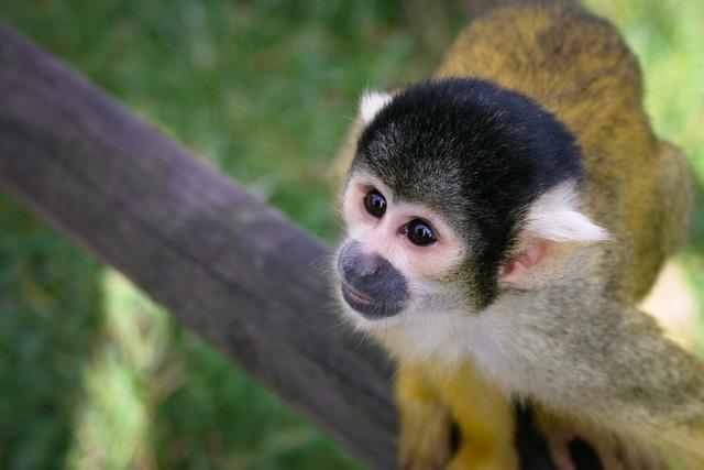 Monkey äffchen zoo.