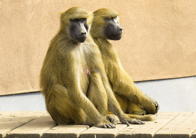 Monkey baboon pair.