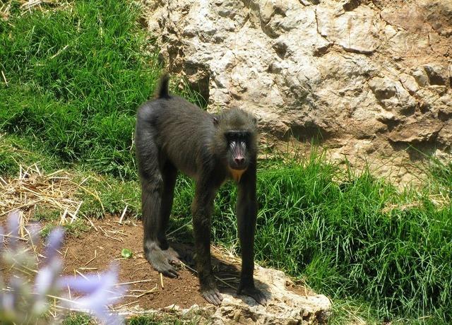 Monkey baboon primate, animals.