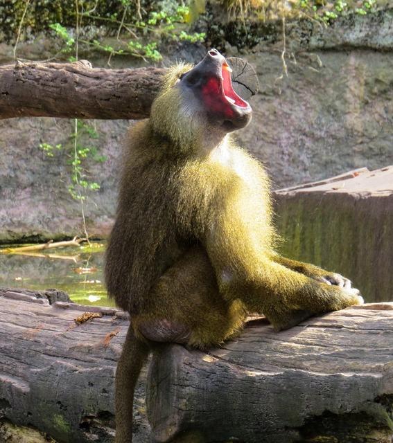 Monkey baboon roar, animals.
