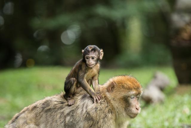 Monkey barbary ape mammal, animals.