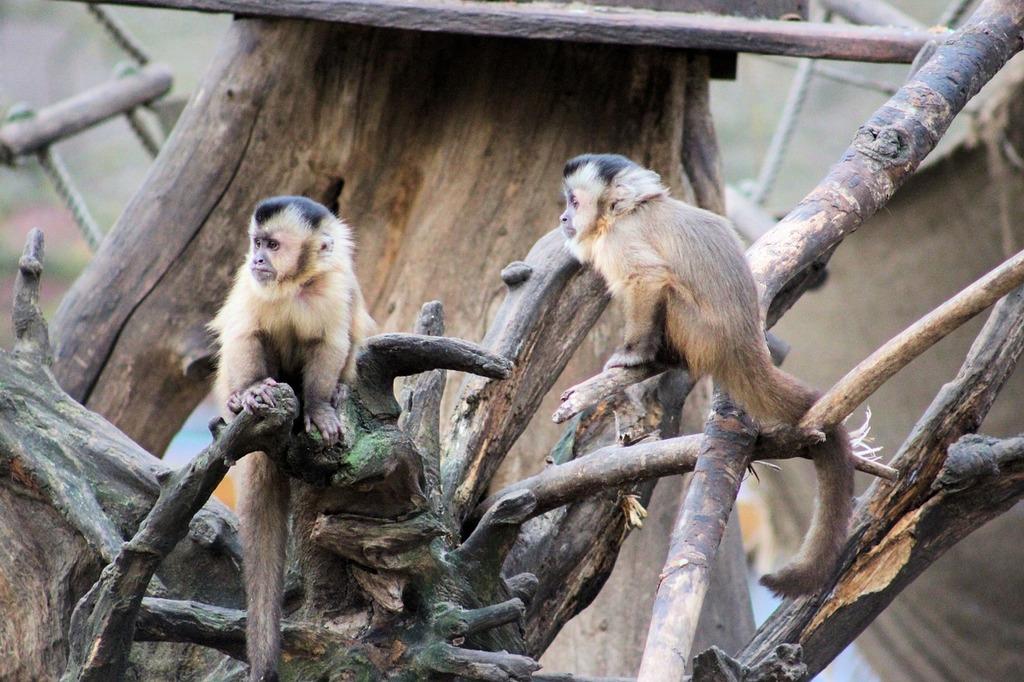Monkey capuchin monkey äffchen.