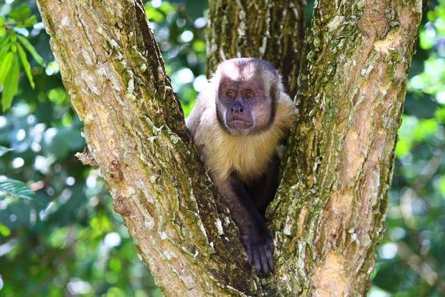 Monkey capuchin monkey primate, animals.