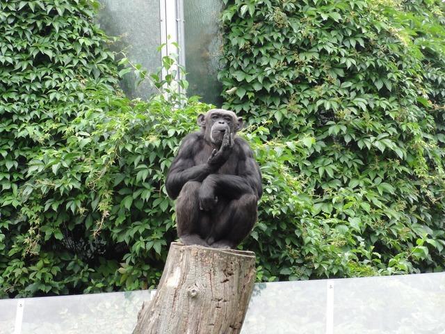 Monkey chimpanzee äffchen, animals.