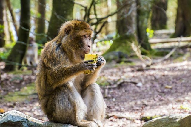 Monkey eat barbary ape, animals.