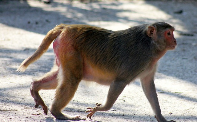Monkey fat walking, animals.