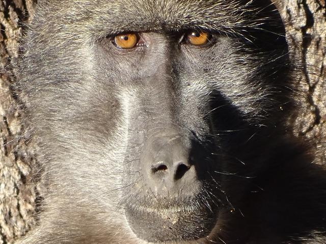 Monkey grey baboon.