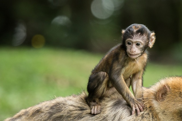 Monkey monkey baby baby, animals.