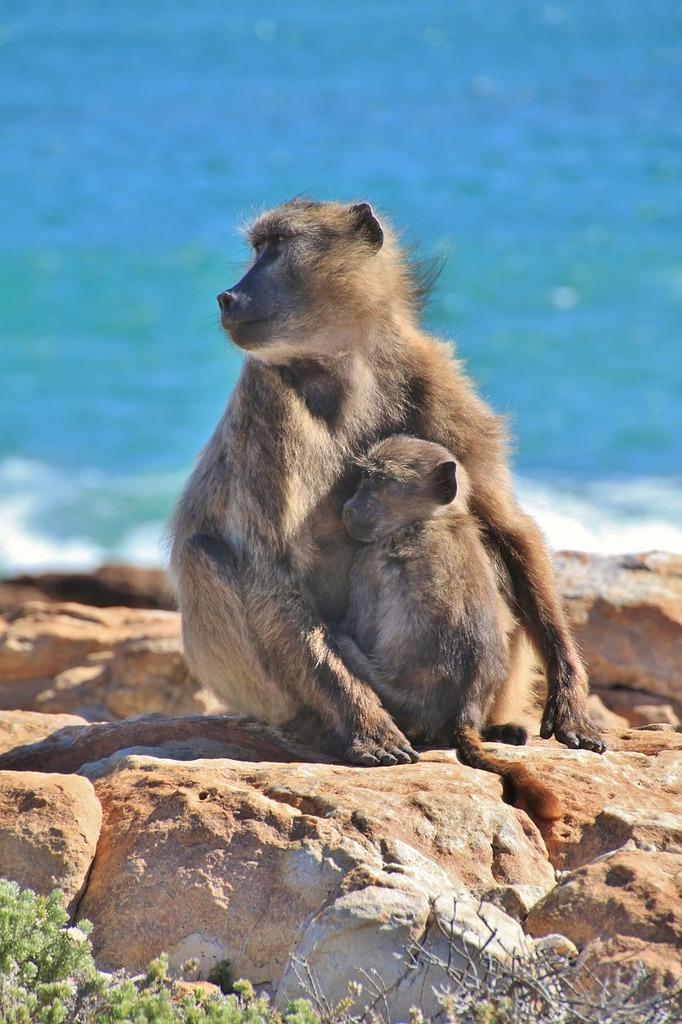 Monkey monkey family äffchen, animals.