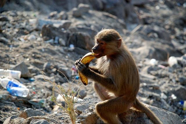 Monkey monkeys animal, animals.