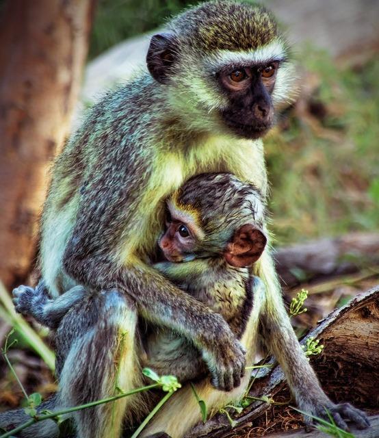 Monkey old world monkey africa, nature landscapes.