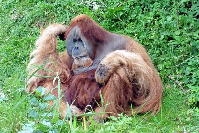 Monkey orang utang äffchen, animals.